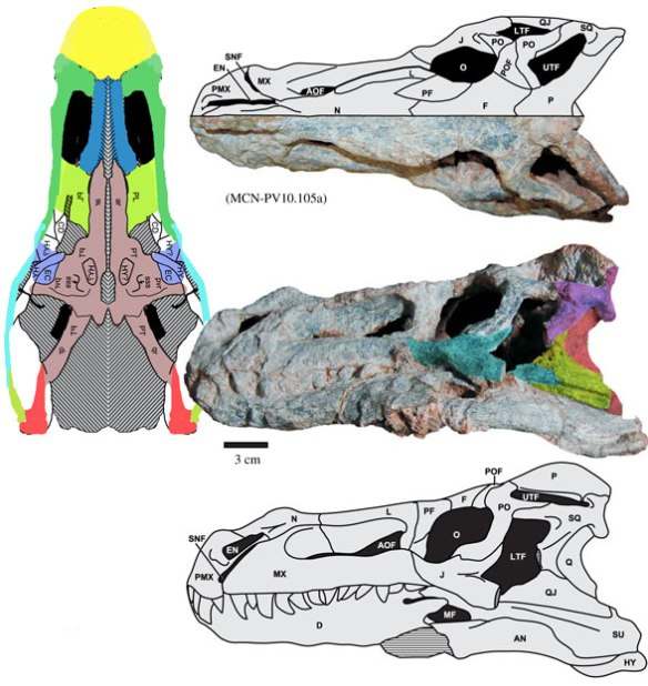 Figure 4. Decuriasuchus, a sister to Pagosvenator in the LRT
