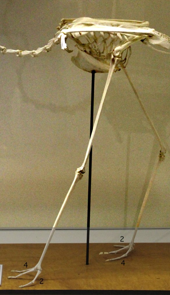 Figure 2. Flamingo skeleton with toes switched. Pedal 2 should be medial. Pedal 4 should be lateral.