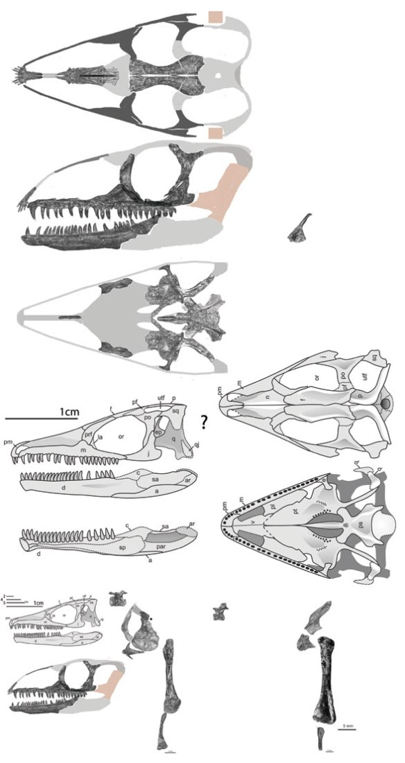 Figure 1. Fraxinisaura as originally reconstructed (below) and as reconstructed here (above) using bone images.