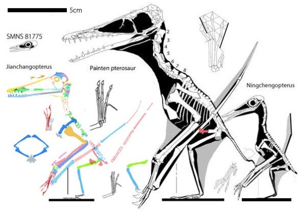 Figure 6. The Painten pterosaur phylogenetically nests between two smaller specimens in the LPT.