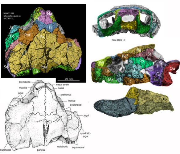 Figure 2. Kayentachelys skull with bones colored differently than in the original drawings.