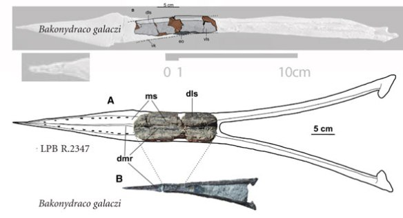 FIgure 1. LPB R 2347 largest pterosaur mandible compared to Bakonydraco.