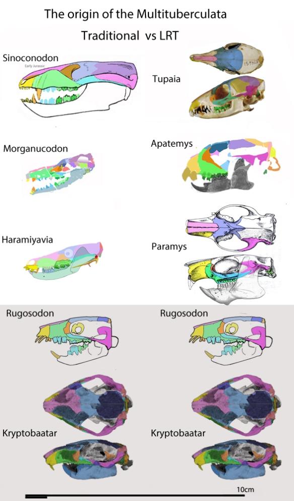 Figure 3. Comparing multituberculate origins: Cziki-Sava et al. vs. LRT.