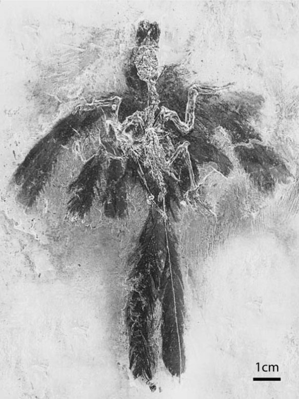 Figure 4. Parargornis feathers and feather halo.
