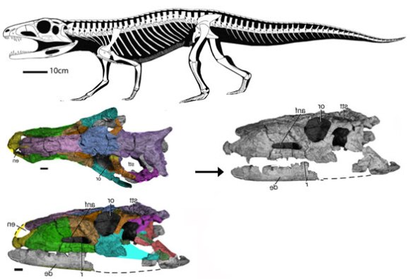 FIgure 1. The latest data on Parringtonia, a taxon nesting with Tarjadia and Erpetosuchus in the LRT. Parringtonia and Tarjadia are quadrupeds descendants from bipedal Terrestrisuchus and other bipedal ancestors.