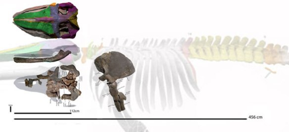 Figure 1. Sitsqwayk reconstruction over the ghosted image of Cetotherium. 456 cm represents the 'total body length' according to Peredo and Uhen 2016. The rostrum is restored shorter here to match the mandible.
