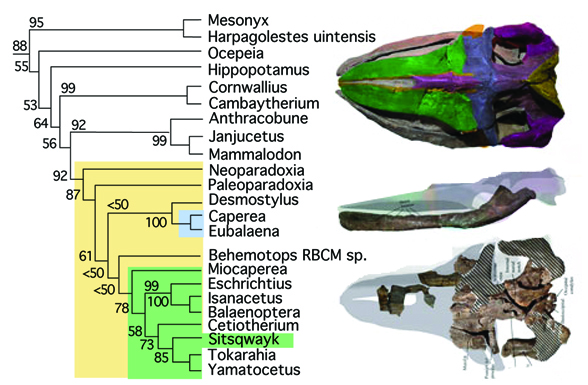 Figure 2. Subset of the LRT focusing on mysticetes, including Sitsqwayk, and their predecessors.