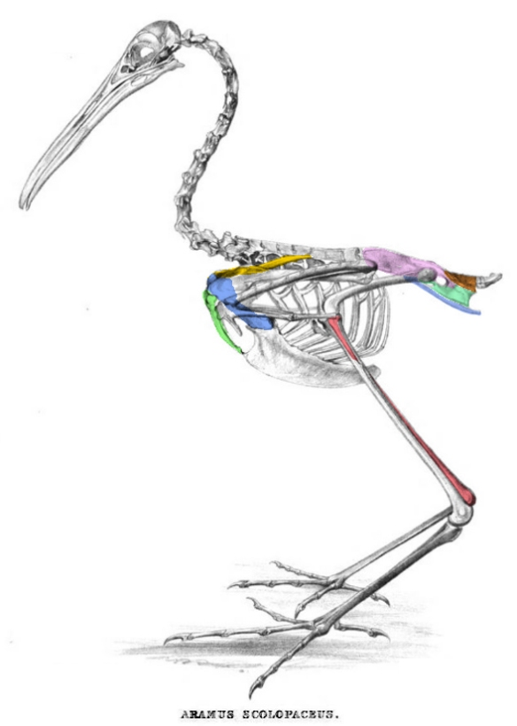 Figure 1. Skeleton of the limp kin (Aramus), traditionally nests within the crane and rail order Gruiformes.