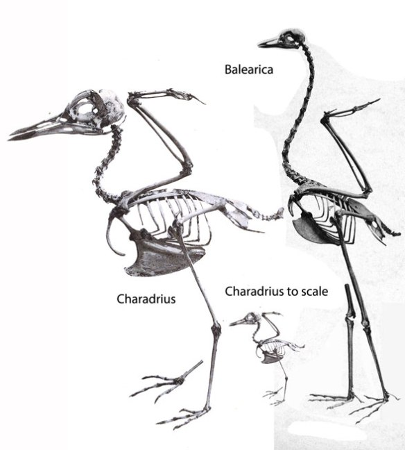 Figure 2. Balearica compared to its sister in the LRT, Charadrius, the plover/kildeer.