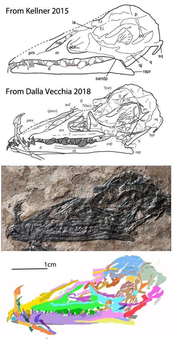 Figure 4. The skull of Bergamodactylus traced by Kellner 2015, Dalla Vecchia 2018 and by me using DGS.