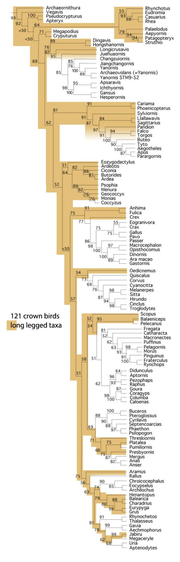 Figure 4. Subset of the LRT focusing on the crown bird clade. Brown taxa are all long-legged. Neotony produces the smaller, shorter-legged, arboreal taxa.
