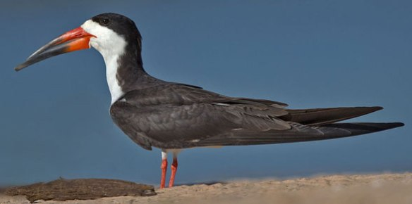 Figure 1. Black skimmer (genus: Rynchops) in vivo.