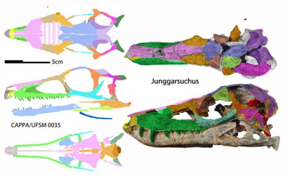 Figure 8. The CAPPA specimen of Buriolestes compared to the more primitive Junggarsuchus, basal to the other branch of archosaurs, the crocs.