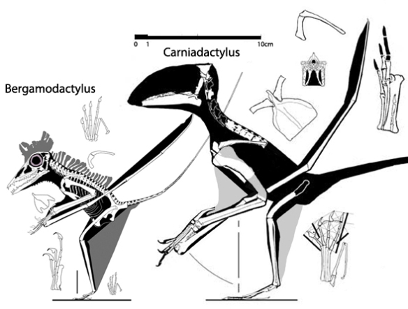 Figure 1. Bergamodactylus compared to Carniadactylus. These two nest apart from one another in the LRT.