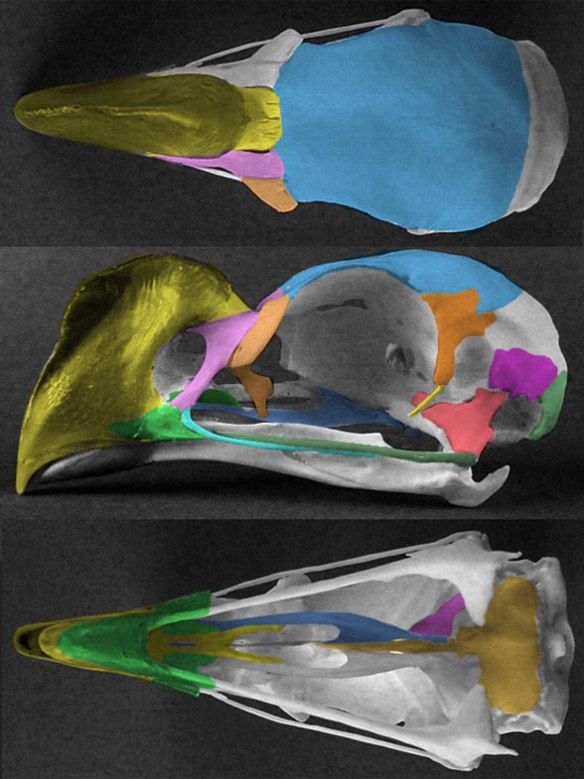 Figure 1. Crax tuberosa skull in three views.