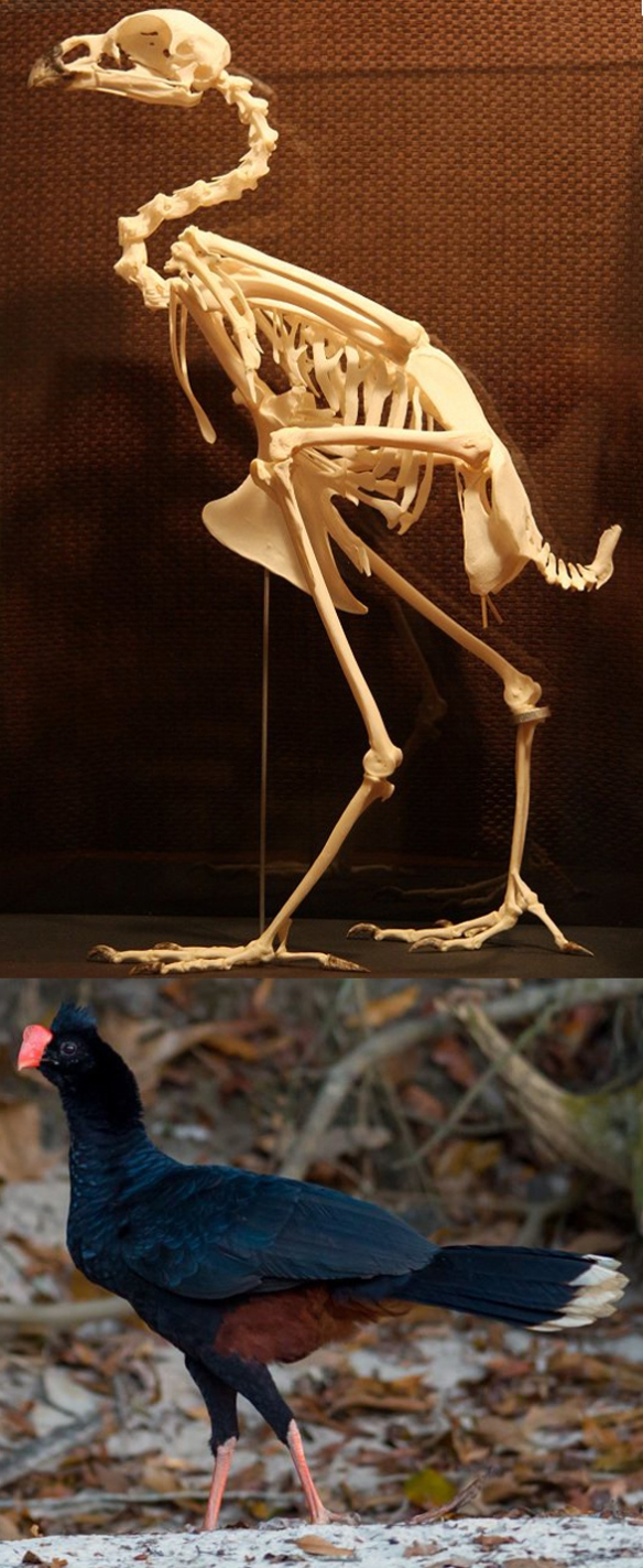 Figure 1. Crax tuberosa skeleton and invivo. This basal neognath bird prefers to walk than fly.