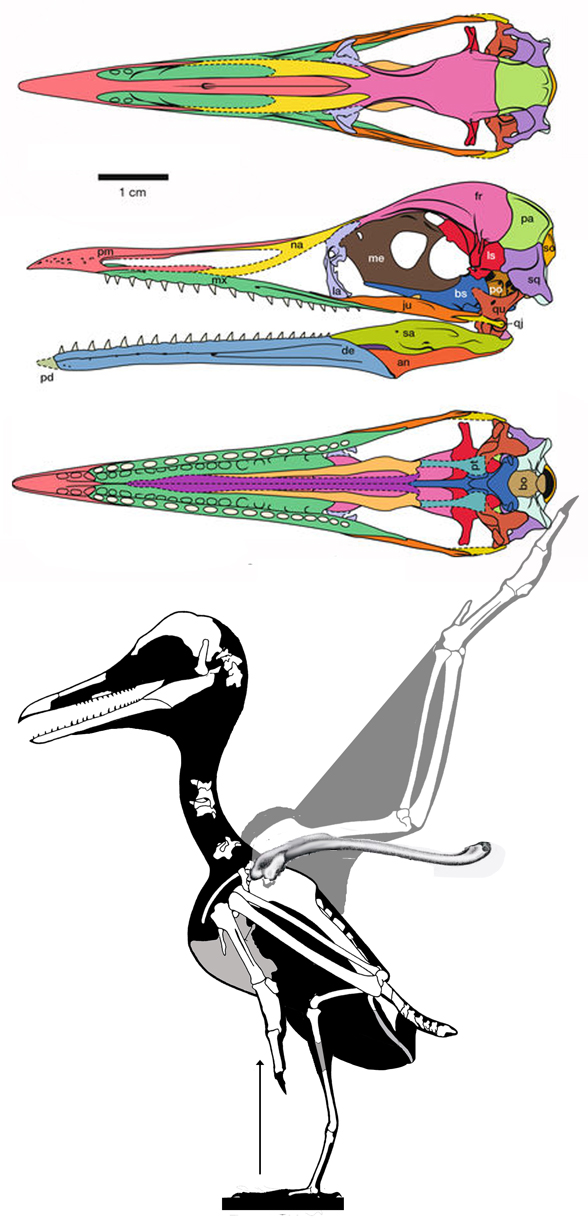 Figure 1. Skull of Ichthyornis in 3 views from Field et al. 2018 and overall skeleton.