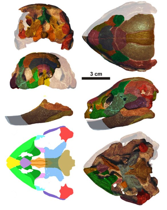 Figure 2. Kallokibotion skull in 5 views. Note the twin nares.