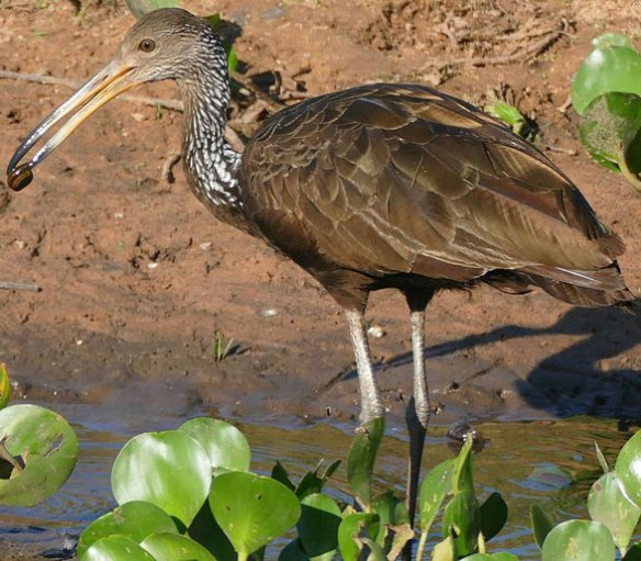 Figure 1. The limpkin (Aramus guarauna) is a basal member of the x family.