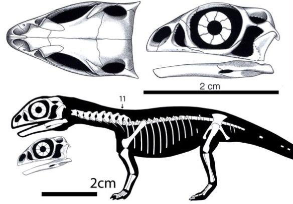 Figure 1. Massospondylus embryo from Reisz et al. 2010.