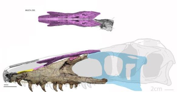 Figure 1. Megaraptor skull restoration revised.