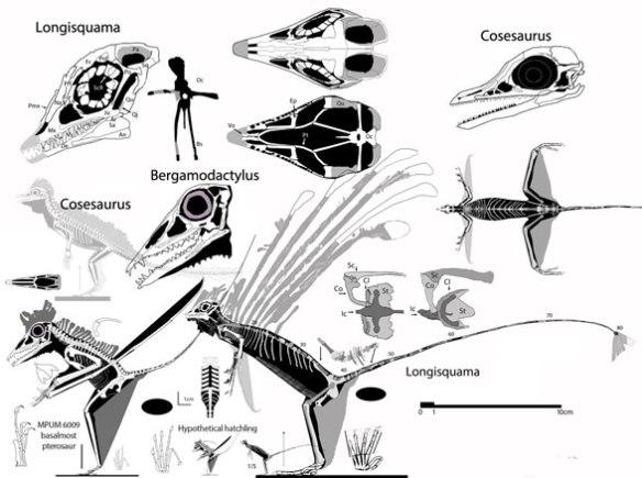 Figure 8. Taxa at the genesis of pterosaurs: Cosesaurus, Longisquama and Bergamodactylus.