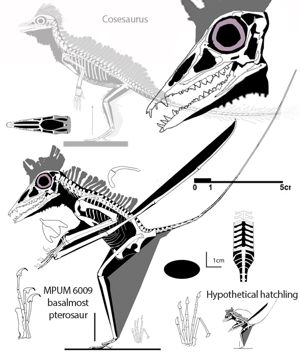 Figure 1. Bergamodactylus compared to Cosesaurus. Hypothetical hatchling also shown.