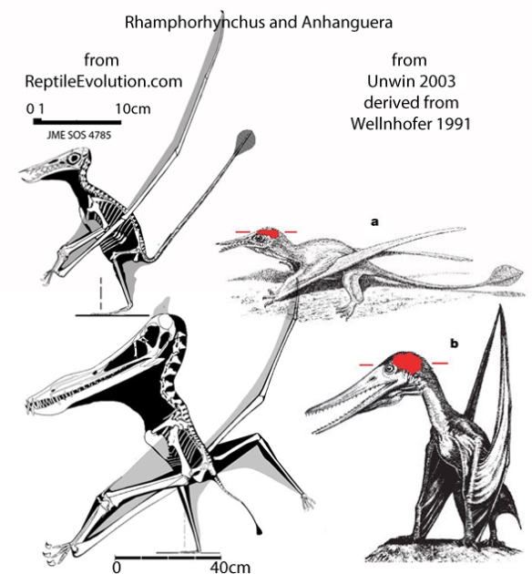 Figure 1. Images from Unwin 2003 compared to fossil tracings and reconstructions from ReptileEvolution.com. Dashed line above toes in Rhamphorhynchus indicates center of balance, below the wing root, as in birds. Note the imaginative illustrations Unwin uses with little to no basis in reality. The skulls display the appropriate rostral tilt.