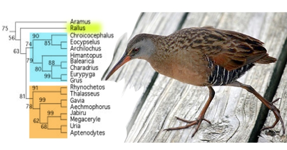 Figure 4. Virginia rail alongside the rail clade in the LRT.
