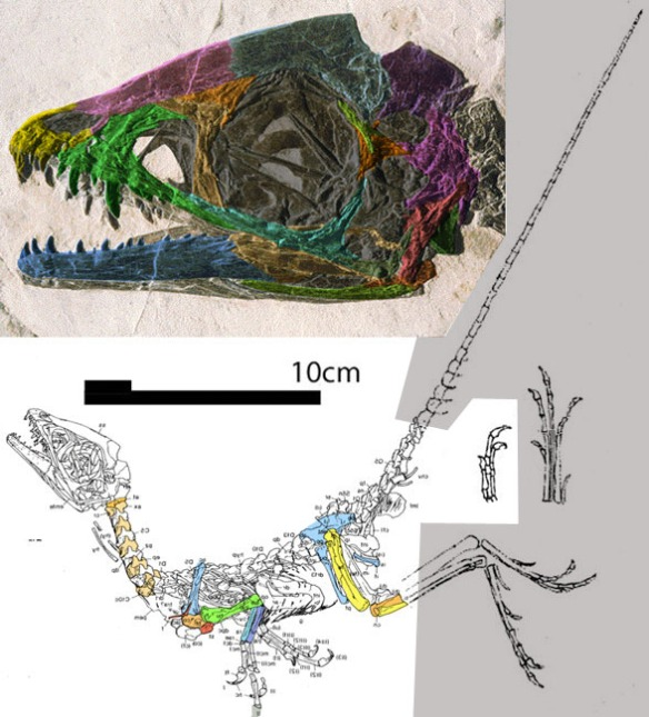 Figure 1. Scipionyx skull and overall. The tail and feet are restored.