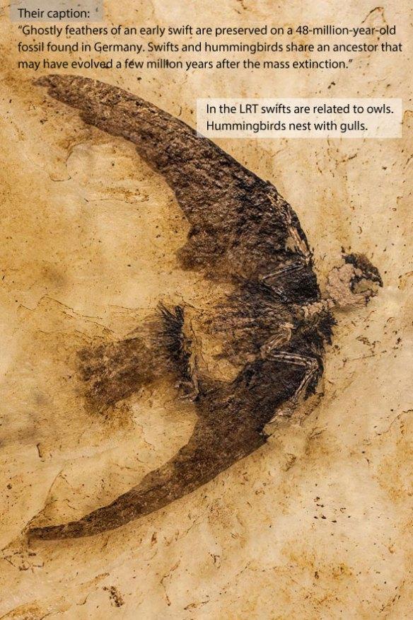 Figure 1. Messel swift (48 mya) from the Nat Geo bird article.