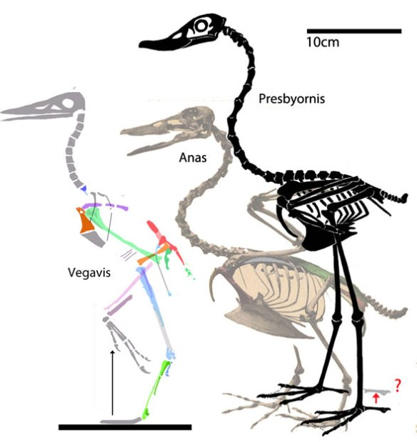 Figure 4. Vegavis skeleton (gray parts restored) compared to duck skeleton.