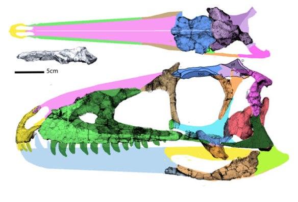 Figure 1. Zuolong skull, very basic, very basal for Theropoda.
