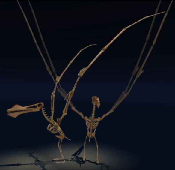 Figure 1. Animated by the NHM, Anhanguera is bipedal and flapping its literally oversize wings.