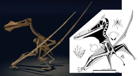 Figure 2. NHM Anhanguera compared to skeletal image from ReptileEvolution.com.