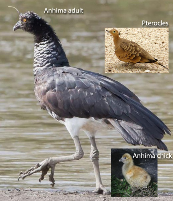 Figure 1. Anhima adult and chick compared to Pterocles adults