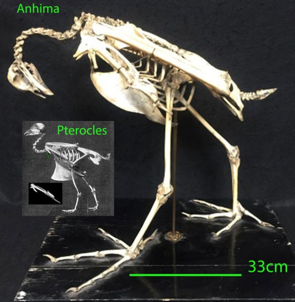 FIgure 2. The larger Anhima compared to its smaller sister, Pterocles.