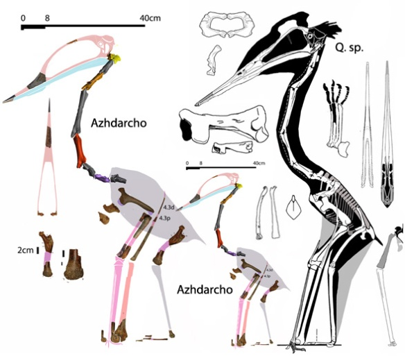Figure 1. Azhdarcho to scale with more complete smaller Quetzalcoatlus specimen and in proportion to the bauplan of Q. sp. Note the robust femur and gracile humerus. These together with the small sternal complex and short distal wing elements indicate a flightless condition.