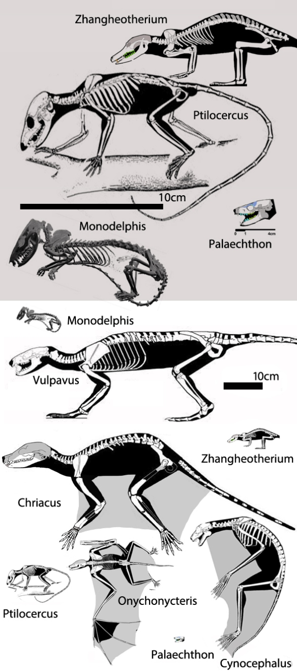 Figure 1. Basal placentals at two scales, all arising from a Middle Jurassic sister to Monodelphis, based on the Earliest Cretaceous appearance of Zhangheotherium, in the lineage of pangolins.