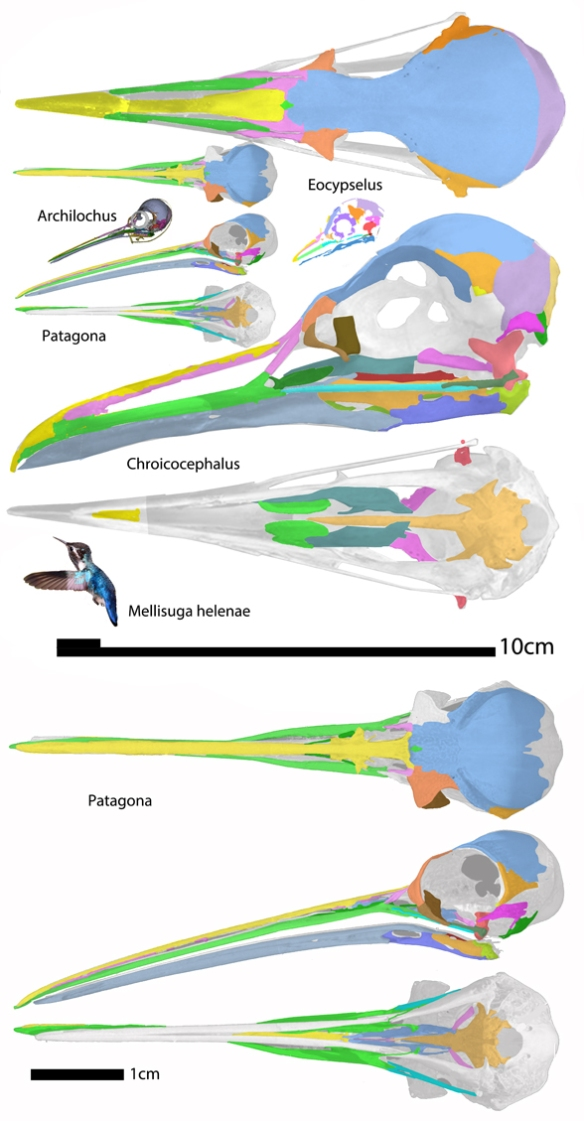 Figure 1. The origin of hummingbirds from the sea gull, Chroicocephalus.