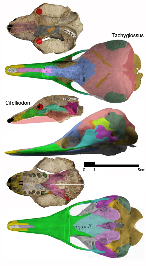 Figure 1. Early Cretaceous Cifelliodon is ancestral to the living echidna, Tachyglossus according to the LRT. The lack of teeth here led to toothlessness in living echidnas. The skull of Tachyglossus is largely fused together, lacks teeth and retains only a tiny lateral temporal fenestra (because the jaws don't move much in this anteater. Compared to Cifelliodon the braincase is greatly expanded, the lateral arches are expanded and the two elements fuse, unlike most mammals.