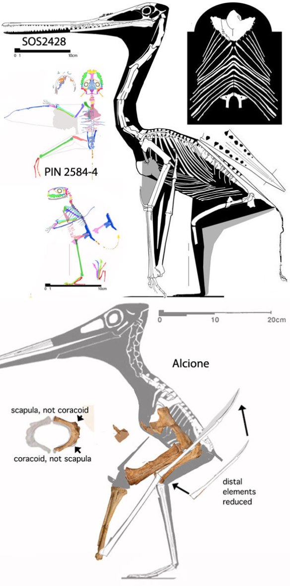 Figure 2. Flightless pterosaurs, SOS24248, PIN2584-4, Alcione, to scale.