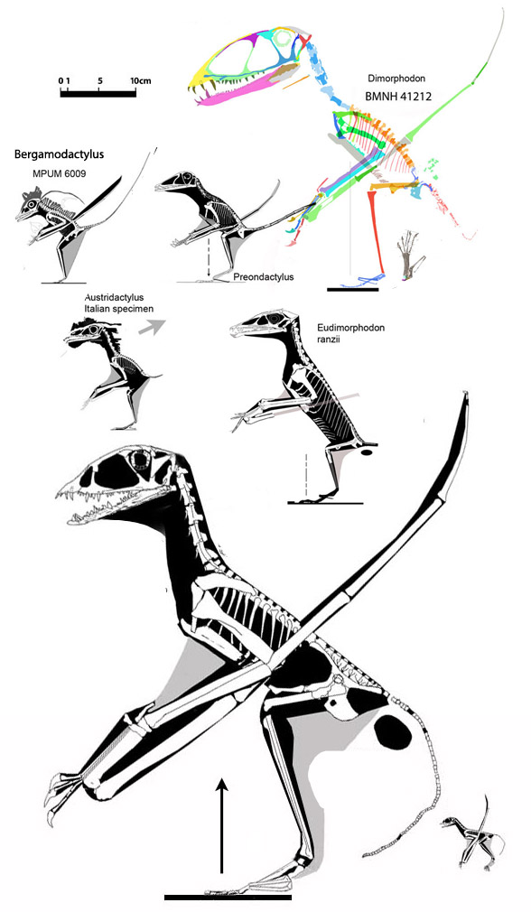 Figure 4. The IVPP embryo anurognathid compared to other basal pterosaurs.