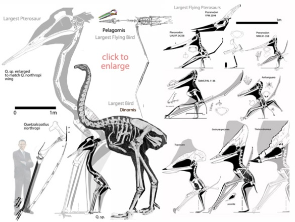 Figure 1. Click to enlarge. The largest flying and non-flying birds and pterosaurs to scale.
