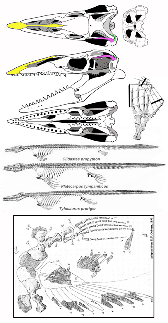 Figure 5. Tylosaurus and other mosasaurs. Note the small supratemporal and large squamosal.