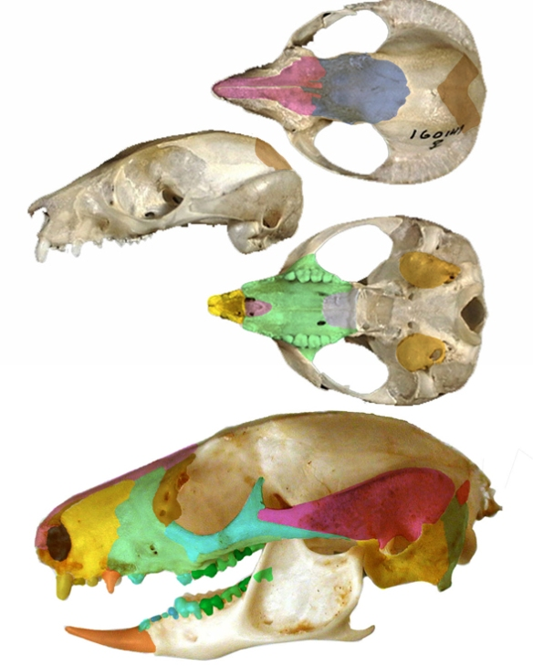 Figure 3. Skulls of the genus Petaurus with many more teeth than in Thylacoleo, but in the same general pattern. Note the lower third premolar and its similarity to the same tooth in Thylacoleo.