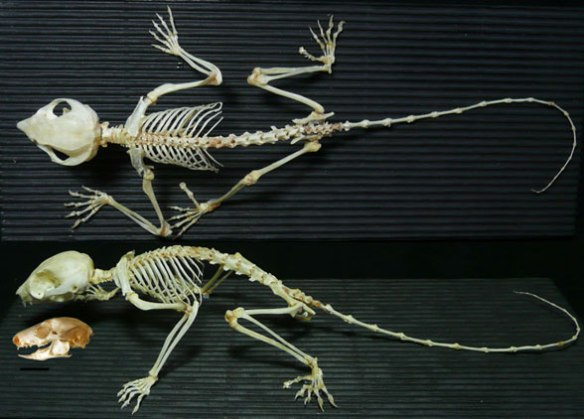 Figure 1. Petaurus breviceps skeleton in two views, plus a skull with mandible, lacking in the skeleton.