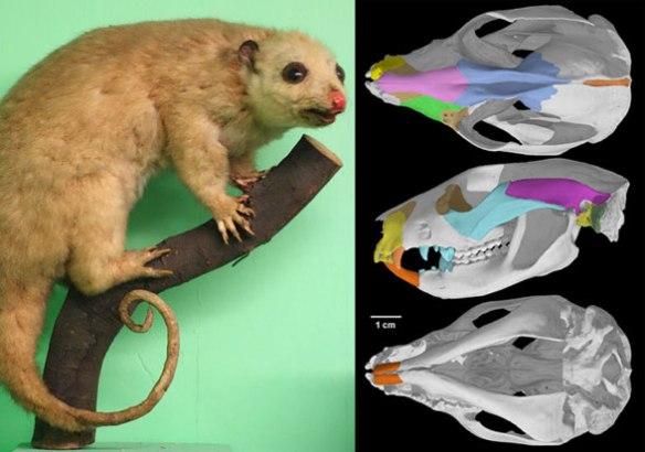 Figure 6. The cuscus (genus: Phalanger orientalis) nests with Petaurus and Thylacoleo in the LRT.