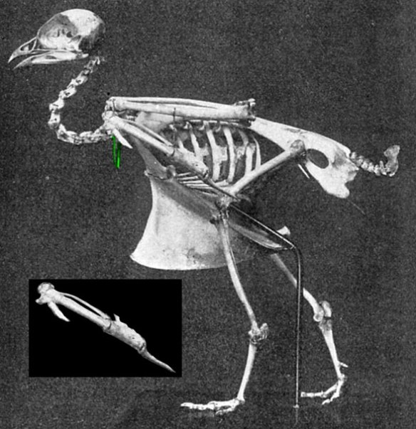 Figure 1. Skeleton of Pterocles, the extant sand grouse. Note the 'calcaneal' tubers and manual digit zero, along with the very tiny clavicle/furcula (green).
