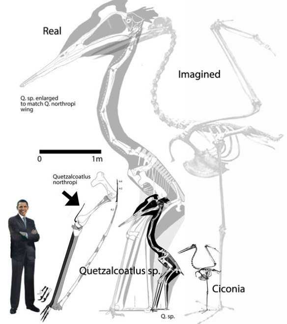 Figure 2. Azhdarchids are stork-like waders, so Ciconia, the stork, is a good analog. It is notably smaller than the smallest known Quetzalcoatlus.